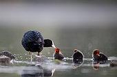 Coot (Fulica atra) feeding chicks, Grand Est, France