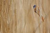 Bearded Tit (Panurus biarmicus) on reed, Hauts de France, France
