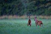 Roe Deer (Capreolus capreolus) Bucks fighting during the rut, Grand Est, France
