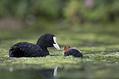 Coot (Fulica atra) and young on the water, Grand Est, France