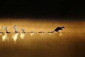 Grèbe castagneux (Tachybaptus ruficollis) s'envolant de la surface de l'eau à l'aube, Grand Est, France