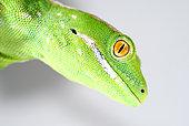 Portrait of Northland green gecko (Naultinus grayii) on white background, New-Zealand