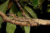Pietschmann's leaf-tailed gecko (Uroplatus pietschmanni) on a branch, Alaotra-Mangoro, Madagascar