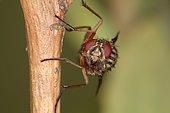 1416 Phaonia valida Muscidae Diptera Lieu: Sieuras 09130 Ariège France date: 9 09 2010 IMG_9877.JPG