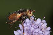 1429 Tachina fera Tachinidae Diptera Lieu : Sur la caire de Mauvezin 31230 France date : 11 09 2010 IMG_0720.JPG