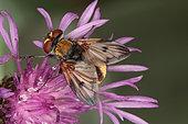 1445 Phasia hemiptera Tachinidae Diptera Lieu : Sur la caire de Mauvezin 31230 France date : 12 09 2010 IMG_0831.JPG
