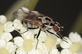 1477 Anthomyia pluvialis Anthomyiidae Diptera Lieu: Sieuras 09130 Ariège France date: 14 09 2010 IMG_1859.JPG