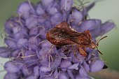1608 Phymata crassipes Reduvidae Hemiptera Elle capture ses proie comme la mante religieuse Lieu : Sur la caire de Mauvezin 31230 France date : 11 09 2010 IMG_0769.JPG