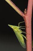 Dictyophara europaea, Sieuras, Ariege, France