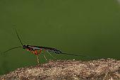 2028 Dolichomitus imperator Ichneumonidae Hymenoptera Lieu : Oasis Evere Belgique petite zone boisée de 3 hectares, date : 29 05 2009 IMG_1931.JPG