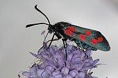 2263 Zygaena transalpina Zygaenidae Lepidoptera La Zygène transalpine Lieu : Sur la caire de Mauvezin 31230 France date : 11 09 2010 IMG_0680.JPG
