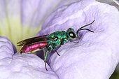 3518 Chrysis sp Chrysididae Hymenoptera Lieu: Sieuras 09130 Ariège France date: 7 05 2013 IMG_0518.JPG