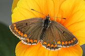 3601 Aricia agestis Le Colluier-de-corail Lycaenidae Lepidoptera Lieu : Lac du Carla-Bayle 09130 France, date : 4 10 2012 IMG_1394.JPG