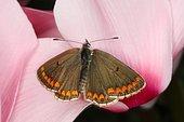 3607 Aricia agestis Le Colluier-de-corail Lycaenidae Lepidoptera Lieu : Lac du Carla-Bayle 09130 France, date : 4 10 2012 IMG_1402.JPG