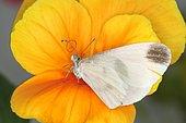 4245 Leptidea sinapis La Piéride de la moutarde Pieridae Lepidoptera Lieu : Lac du Carla-Bayle 09130 France, date : 4 10 2012 IMG_1407.JPG