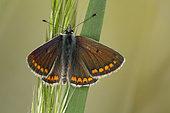 4992 Aricia agestis Le Colluier-de-corail Lycaenidae Lepidoptera Lieu: Sieuras 09130 Ariège France date:5 2013 IMG_1823.JPG