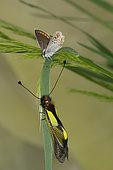 5000 Aricia agestis Le Colluier-de-corail face à un ascalaphe (Neuroptera) Lycaenidae Lepidoptera Lieu: Sieuras 09130 Ariège France date: 5 2013 IMG_1844.JPG