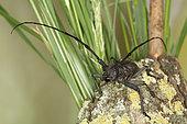 5822 Morimus asper Cerambycidae Coleoptera Lieu: Sieuras 09130 Ariège France date: 5 2013 IMG_2449.JPG