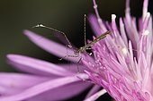 10428 Empicoris vagabundus Reduviidae Hemiptera Lieu : Mas Azil 09290 Ariège France domaine famille Soulere, date : 17 09 2014 IMG_3484.JPG