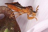 10804 Phymata crassipes Reduvidae Hemiptera Elle capture ses proie comme la mante religieuse Lieu : Lieu: Sieuras 09130 Ariège France date: 21 09 2012 IMG_5485.JPG Présence d'un collembole blanc sur le dos