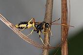 11104 Acroricnus seductor Ichneumonidae Hymenoptera Lieu: Sieuras 09130 Ariège France date: 4 1 2015 IMG_7131.JPG