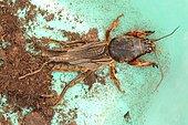 11823 Gryllotalpa gryllotalpa Gryllotalpidae Orthoptera Lieu : dans le Moeraske réserve naturelle à Evere Bruxelles Belgique , date : 26 04 2005 IMG_8052.JPG