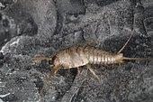 11905 Lepisma saccharina Lepismatidae Zygentoma Lieu: Evere Belgique date: 6 05 2015 vue de profil IMG_8229.JPG