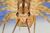 9439 Scutigera coleoptrata Scutigeridae Chilopoda Lieu: Sieuras 09130 Ariège France date:20 09 2014 IMG_3883.JPG