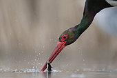 Portrait de cigogne noire qui pêche