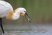 Spatule blanche à la pêche qui lache son poisson