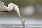 Héron cendré (Ardea cinerea) cherchant à attraper un poisson qui lui glisse du bec prenant ainsi des poses inédites. Celle-ci est assez gag avec une prise de vue en contre-plongée. Puszatzer, Hongrie