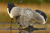 Grey heron (Ardea cinerea) striking at a fish, Hungary