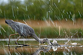 Gray Heron (Ardea cinerea) fishing in the rain, Puszatzer, Hungary