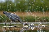 Héron cendré (Ardea cinerea) pêchant sous la pluie, Puszatzer, Hongrie