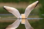 Une mouette rieuse qui secoue ses ailes, celles-ci forment un X