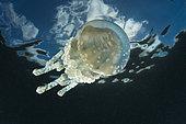 Mastigias Jellyfish,Mastigias papua, Vanuatu
