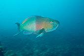 Bicolor Parrotfish, Scarus rubroviolaceus, Cabo Marshall, Isabela Island, Galapagos, Ecuador