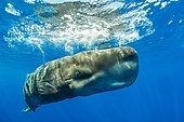Sperm whale (Physeter macrocephalus) close to the water surface, Azores, Portugal, Europe