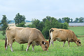 Cow Aubrac breed in a close, breed originating in the Aubrac and southern Massif Central formerly used for labor, milk and meat. Today used for meat production, Recognized for its rusticity and maternal qualities, Aveyron, France