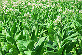 Plants of tobacco, tobacco growing in the Lot Valley, Saint Cirq, Lot-et-Garonne, France