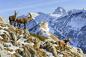Alpine ibex (Capra ibex), young males in winter coat. Beginning of the rut in December in the massif des Bornes, Alps, France