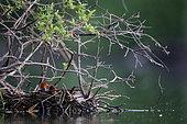 Common Coot (Fulica atra) chicks at nest
