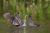 Moorhen (Gallinula chloropus) quarrel of territory on water