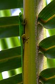 Seychelles small day gecko (Phelsuma astriata), Seychelles