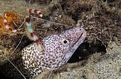 Banded Coral Shrimp (Stenopus hispidus), a cleaner shrimp, attends to a Spotted Moray Eel (Gymnothorax moringa). Caribbean Sea