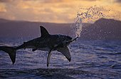Great White Shark (Carcharodon carcharias), leaping out of the water at sunset attacking a seal decoy which it now has in its mouth. Sharks attack real seals in this manner. They are brilliant ambush hunters, favoring dawn and dusk to prey on seals using this remarkable technique. South Africa, Indian Ocean