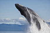 A Humpback Whale (Megaptera novaeangliae) breaching, propelling 30 tons out of the water. Alaska, USA, Pacific Ocean
