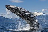 Humpback Whale (Megaptera novaeangliae) breaching very close to the camera. Alaska, USA, Pacific Ocean