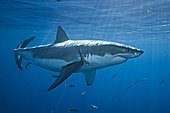 Great White Shark (Carcharodon carcharias), one of the largest elasmobranch species, and certainly among the most dangerous. Worldwide temperate and subtropic waters. Guadalupe Island, Baja, Mexico, Pacific Ocean