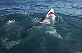 Great White Shark (Carcharodon carcharias) sticking its head above the water